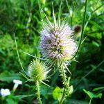 Artyčok a ostropestřec – bylinky určené k detoxikaci organismu a pro správnou funkci jater